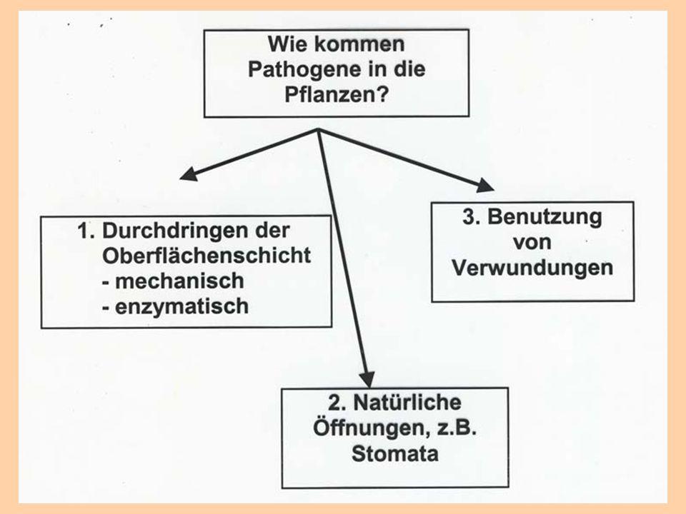 Parasitismus – Halbschmarotzer Gastpflanze ernährt sich autotroph und entzieht dem Wirt lediglich Wasser und Nährstoffe.