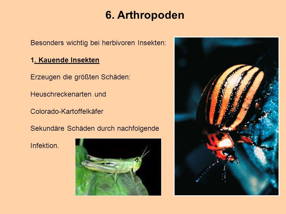 6. Arthropoden Besonders wichtig bei herbivoren Insekten: 1. Kauende Insekten Erzeugen die größten Schäden: Heuschreckenarten und Colorado-Kartoffelkä