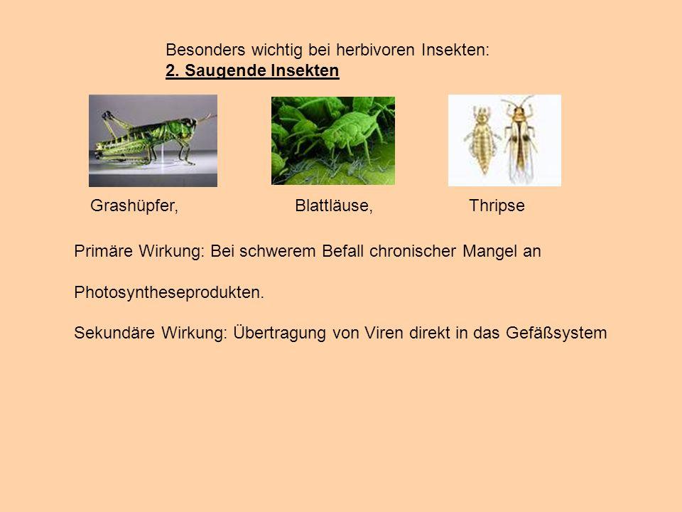 Besonders wichtig bei herbivoren Insekten: 2. Saugende Insekten Grashüpfer, Blattläuse, Thripse Primäre Wirkung: Bei schwerem Befall chronischer Mange