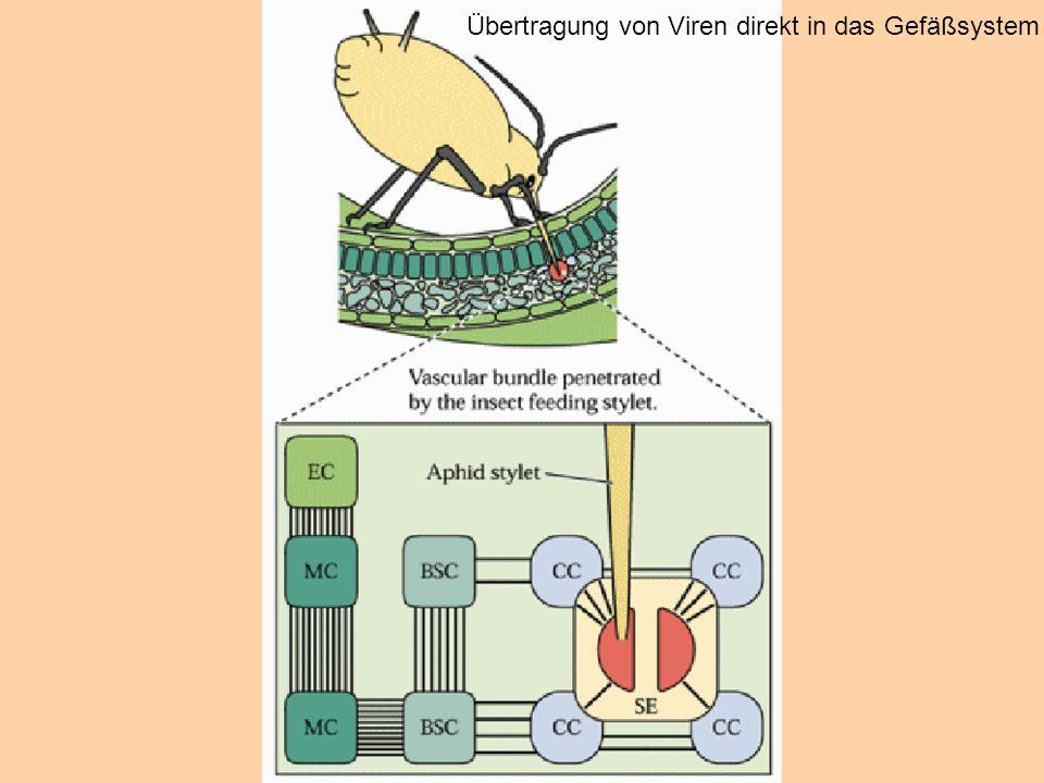 Übertragung von Viren direkt in das Gefäßsystem