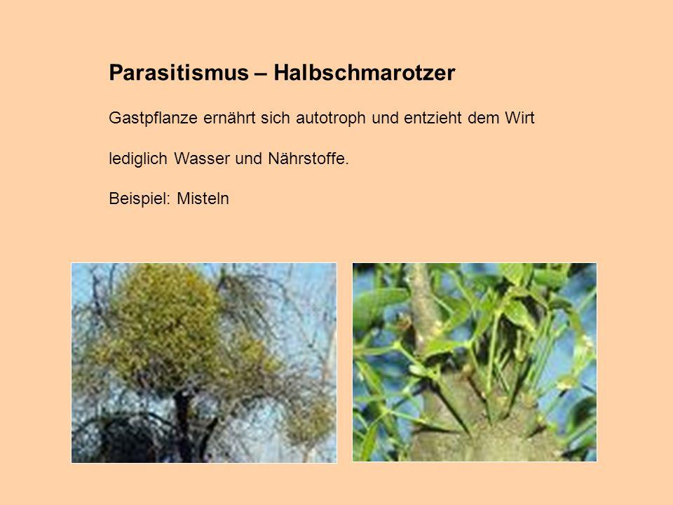 Parasitismus – Halbschmarotzer Gastpflanze ernährt sich autotroph und entzieht dem Wirt lediglich Wasser und Nährstoffe. Beispiel: Misteln