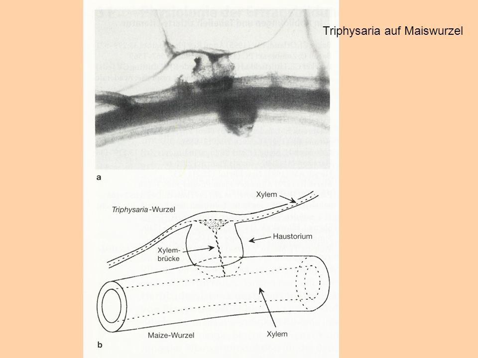 Triphysaria auf Maiswurzel