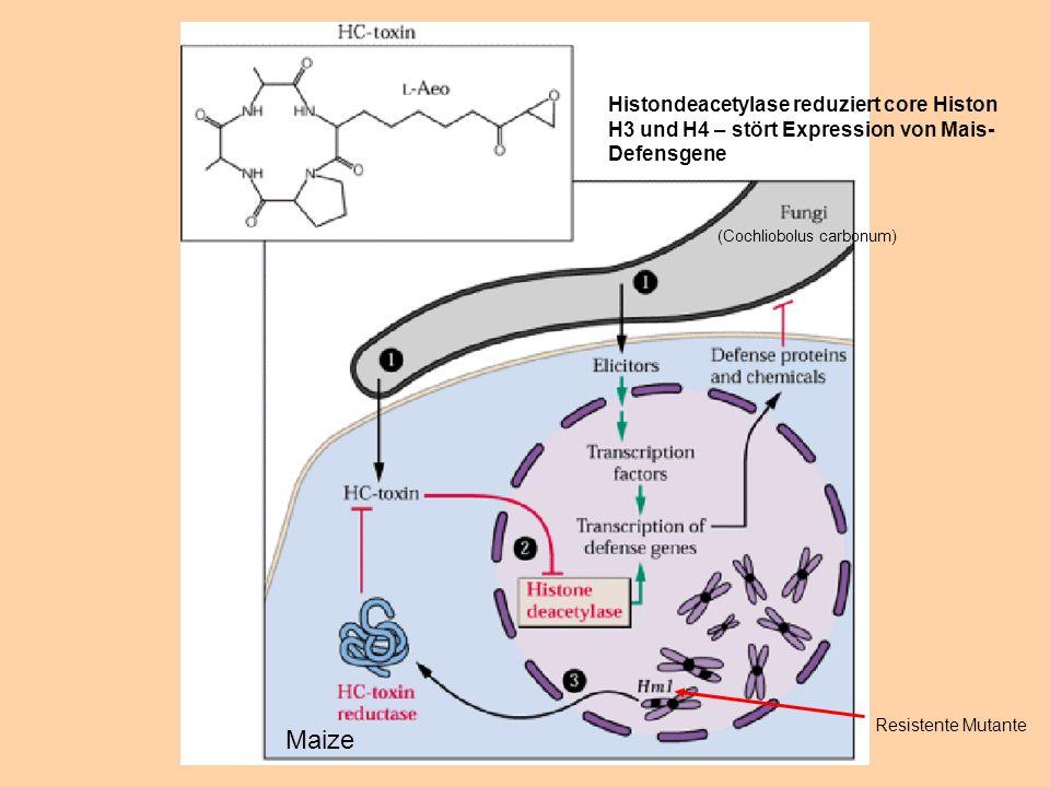 Histondeacetylase reduziert core Histon H3 und H4 – stört Expression von Mais- Defensgene Resistente Mutante Maize (Cochliobolus carbonum)