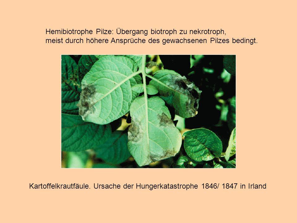 Hemibiotrophe Pilze: Übergang biotroph zu nekrotroph, meist durch höhere Ansprüche des gewachsenen Pilzes bedingt. Kartoffelkrautfäule. Ursache der Hu