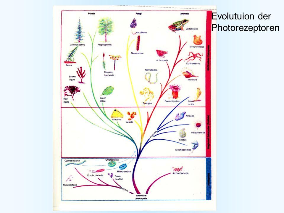 Evolutuion der Photorezeptoren