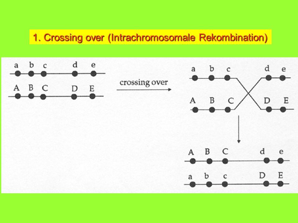 1.Crossing over (Intrachromosomale Rekombination)