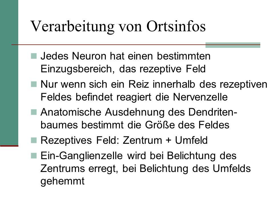Verarbeitung von Ortsinfos Jedes Neuron hat einen bestimmten Einzugsbereich, das rezeptive Feld Nur wenn sich ein Reiz innerhalb des rezeptiven Feldes