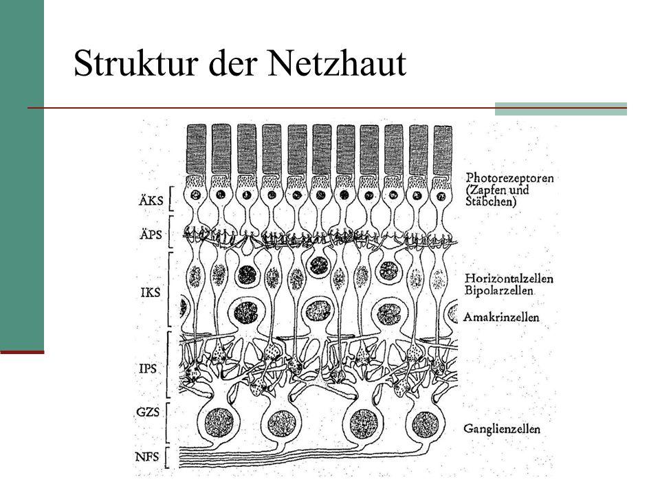 Verarbeitung von Helligkeitsinfos Dämmerungssehen: Stäbchen Tagessehen: Zapfen Zapfen + Stäbchen werden bei Belichtung hyperpolarisiert, d.h.