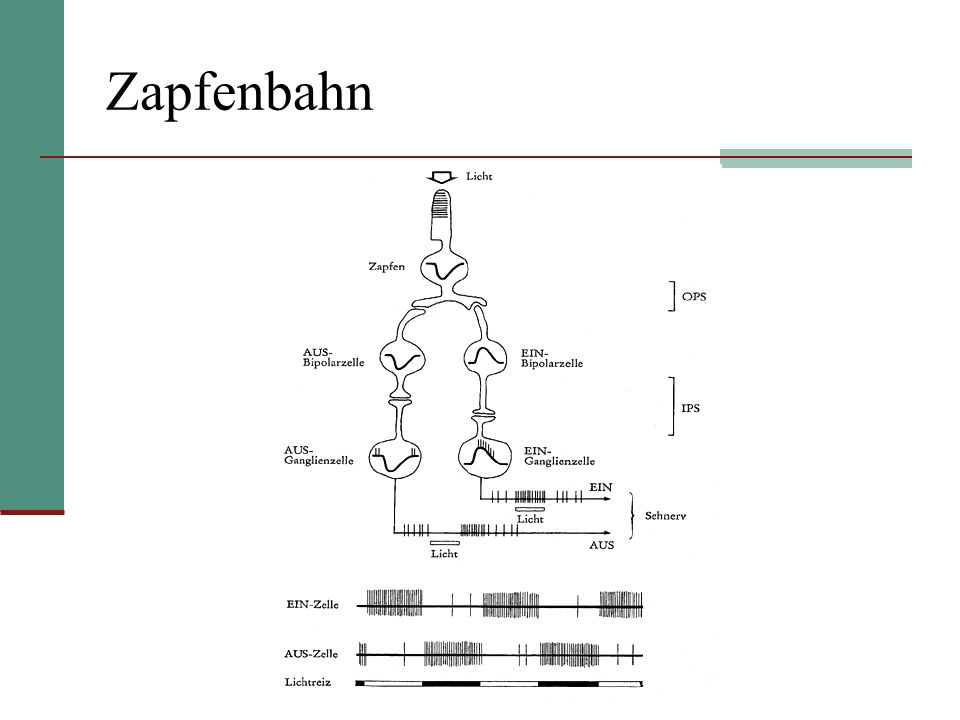 Stäbchenbahn Stäbchen hat nur Kontakt mit einer Sorte Bipolarzellen, den Stäbchenbipolarzellen Diese werden bei Belichtung erregt und bei Dunkelreizen gehemmt Stäbchenbipolarzellen haben keinen direkten Kontakt zu Ganglienzellen, sondern übertragen ihre Signale auf die Amakrinzellen