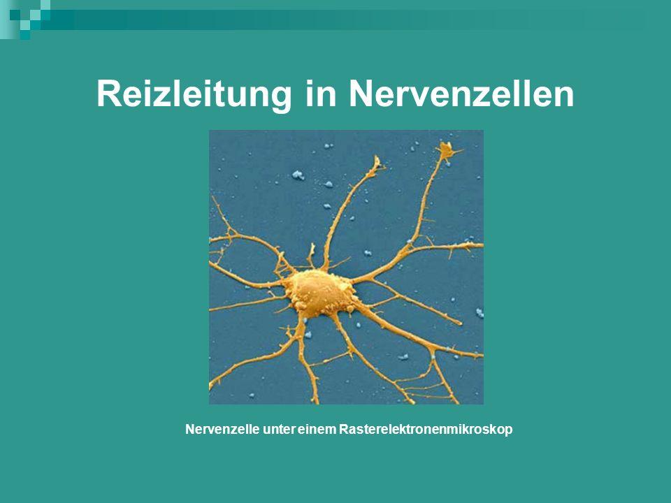 Reizleitung in Nervenzellen Nervenzelle unter einem Rasterelektronenmikroskop