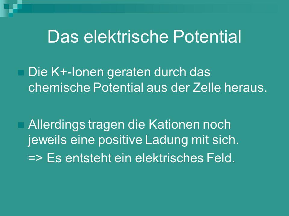 Das elektrische Potential Die K+-Ionen geraten durch das chemische Potential aus der Zelle heraus. Allerdings tragen die Kationen noch jeweils eine po