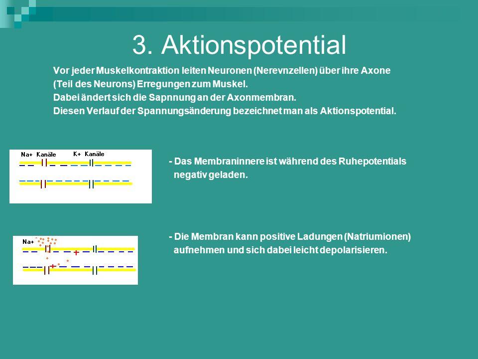 3. Aktionspotential Vor jeder Muskelkontraktion leiten Neuronen (Nerevnzellen) über ihre Axone (Teil des Neurons) Erregungen zum Muskel. Dabei ändert