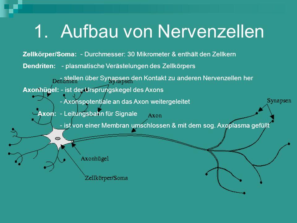 1.Aufbau von Nervenzellen Zellkörper/Soma: - Durchmesser: 30 Mikrometer & enthält den Zellkern Dendriten: - plasmatische Verästelungen des Zellkörpers