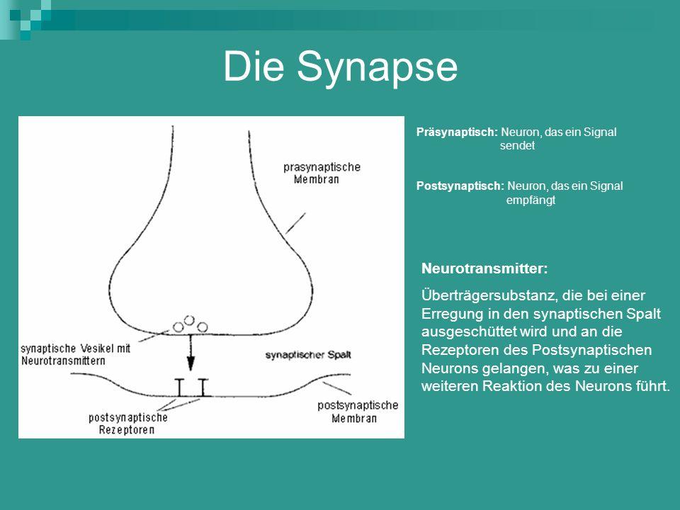 Die Synapse Präsynaptisch: Neuron, das ein Signal sendet Postsynaptisch: Neuron, das ein Signal empfängt Neurotransmitter: Überträgersubstanz, die bei