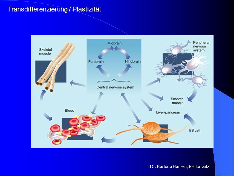 Dr. Barbara Hansen, FH Lausitz Adulte Stammzellen adulte (somatische) Stammzellen Proliferation & Differenzierung zu spezialisierten Zelltypen des Gew