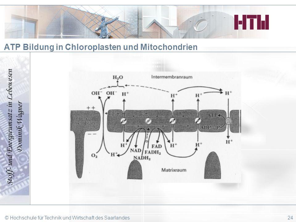 Stoff- und Energieumsatz in Lebewesen Dominik Wagner © Hochschule für Technik und Wirtschaft des Saarlandes24 ATP Bildung in Chloroplasten und Mitocho