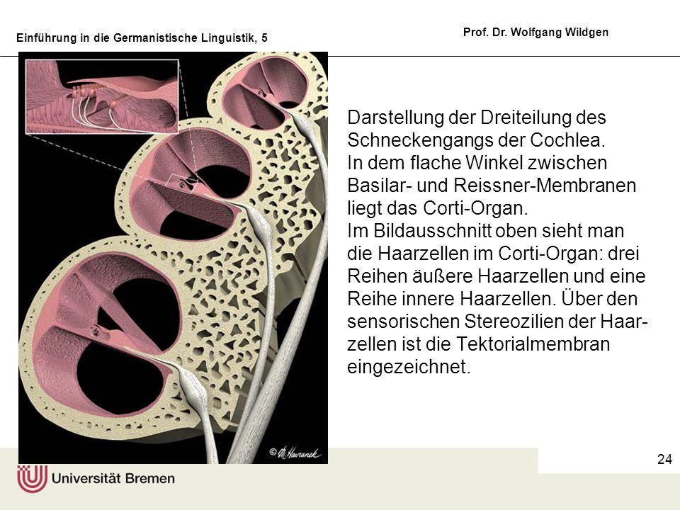 Einführung in die Germanistische Linguistik, 5 Prof. Dr. Wolfgang Wildgen 24 Darstellung der Dreiteilung des Schneckengangs der Cochlea. In dem flache
