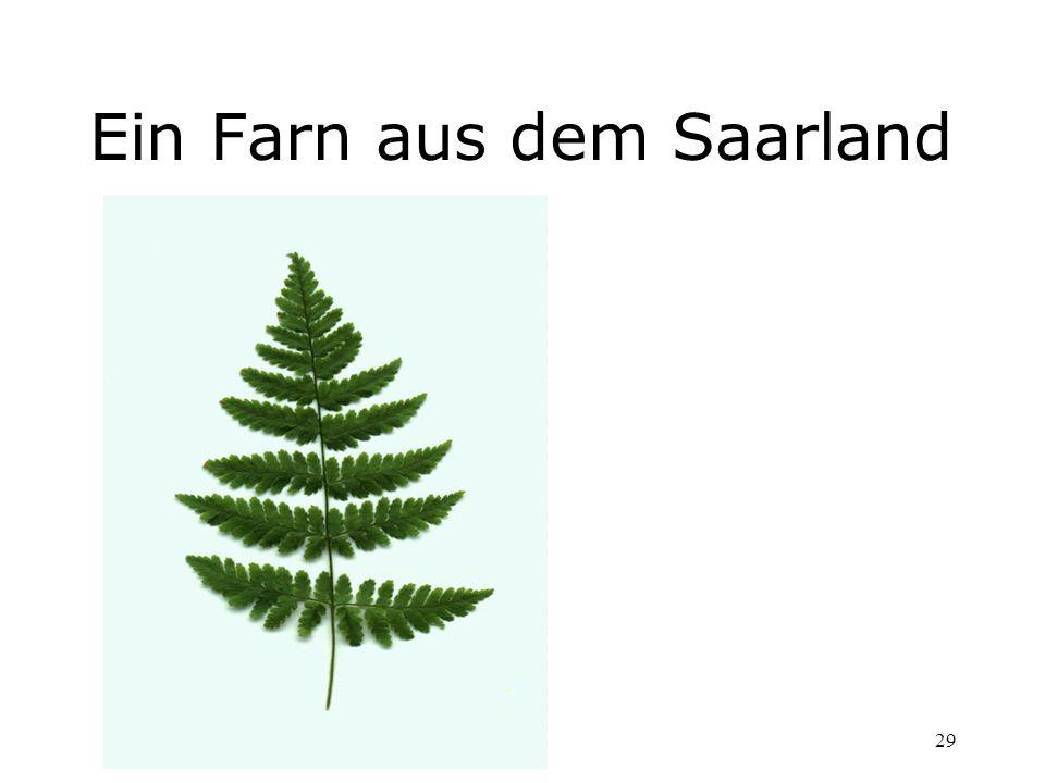 29 Ein Farn aus dem Saarland