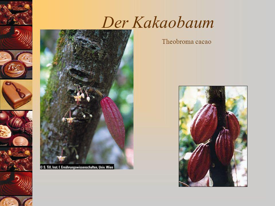 Der Kakaobaum Theobroma cacao