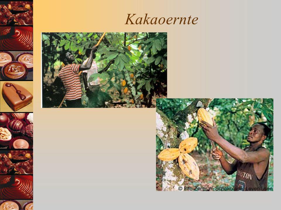 Kakaoernte