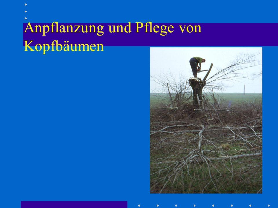 Anpflanzung und Pflege von Kopfbäumen