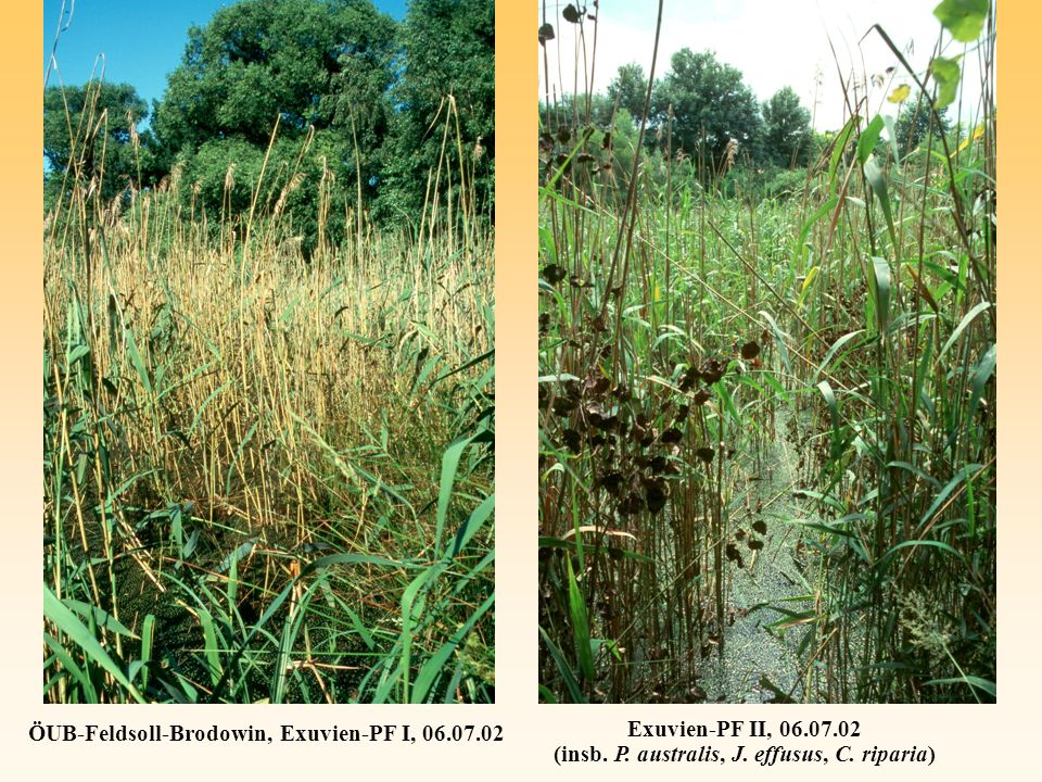 Exuvien-PF II, 06.07.02 (insb. P. australis, J. effusus, C. riparia) ÖUB-Feldsoll-Brodowin, Exuvien-PF I, 06.07.02