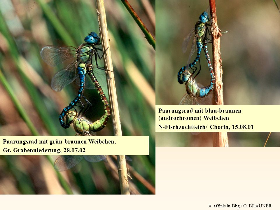 A. affinis in Bbg./ O. BRAUNER Paarungsrad mit grün-braunen Weibchen, Gr. Grabenniederung, 28.07.02 Paarungsrad mit blau-braunen (androchromen) Weibch