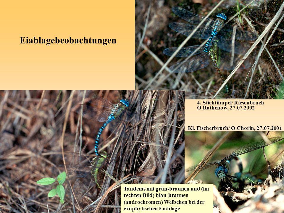 4. Stichtümpel/ Riesenbruch O Rathenow, 27.07.2002 Eiablagebeobachtungen Kl. Fischerbruch/ O Chorin, 27.07.2001 Tandems mit grün-braunen und (im recht