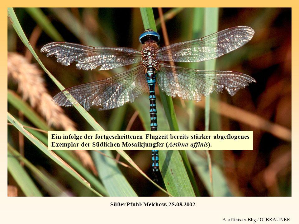 Süßer Pfuhl/ Melchow, 25.08.2002 A. affinis in Bbg./ O. BRAUNER Ein infolge der fortgeschrittenen Flugzeit bereits stärker abgeflogenes Exemplar der S