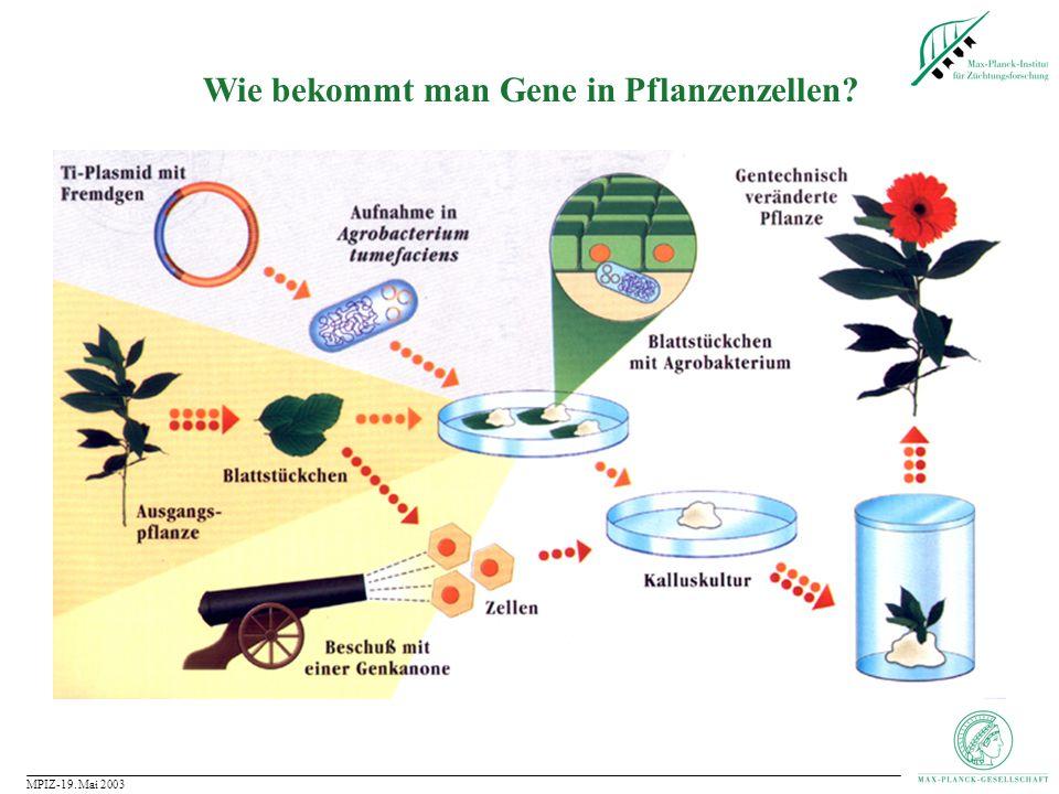 MPIZ-19. Mai 2003 Agrobacterium tumefaciens: Die Genfähre für Pflanzen Vergrößerung: 10 5 fach