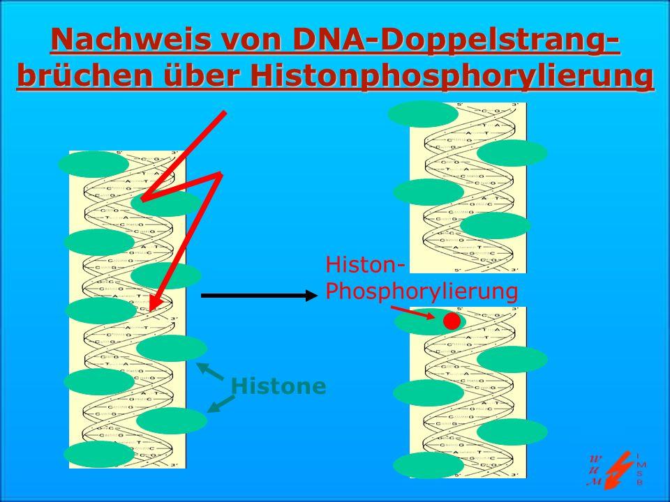 Nachweis von DNA-Doppelstrang- brüchen über Histonphosphorylierung Histon- Phosphorylierung Histone