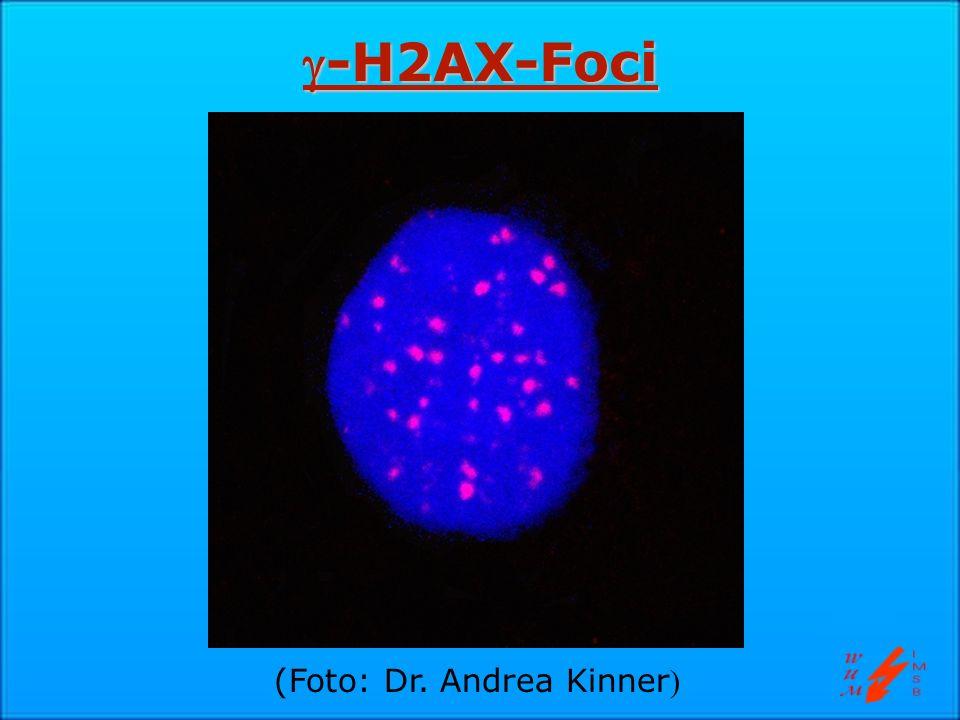 -H2AX-Foci-H2AX-Foci (Foto: Dr. Andrea Kinner )