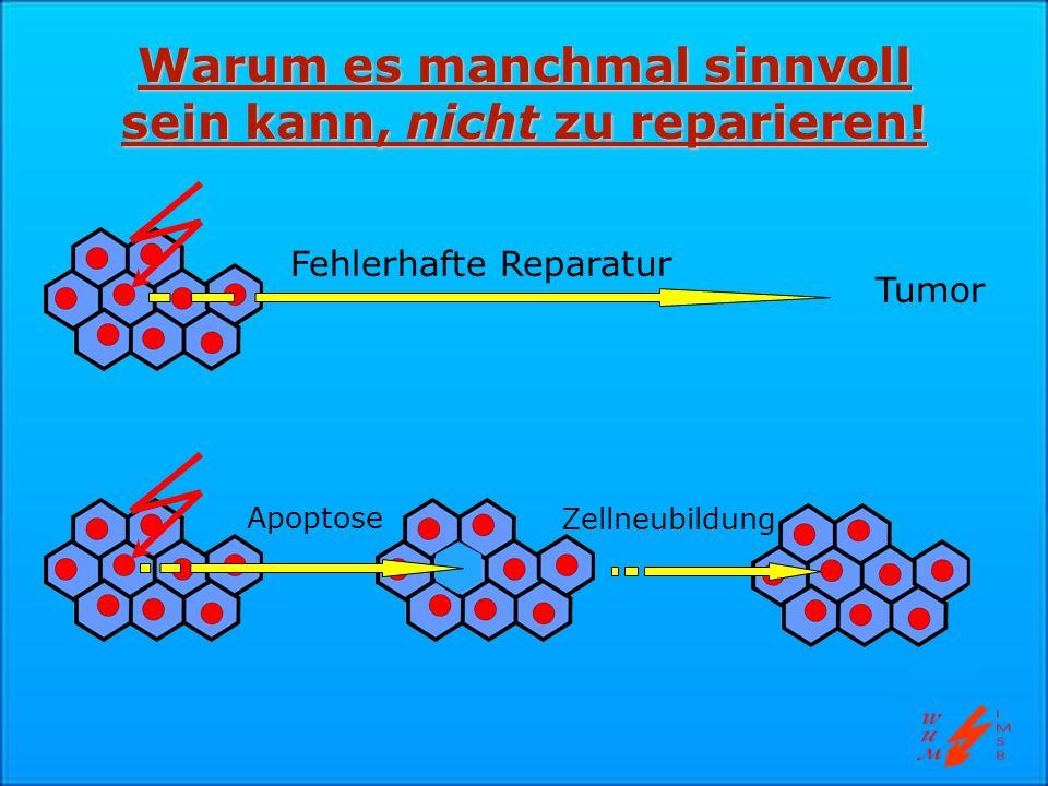 Warum es manchmal sinnvoll sein kann, nicht zu reparieren! Fehlerhafte Reparatur Apoptose Zellneubildung Tumor