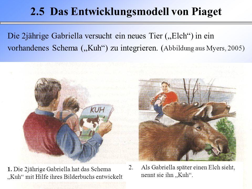 Die 2jährige Gabriella versucht ein neues Tier (Elch) in ein vorhandenes Schema (Kuh) zu integrieren. ( Abbildung aus Myers, 2005) 2.5 Das Entwicklung
