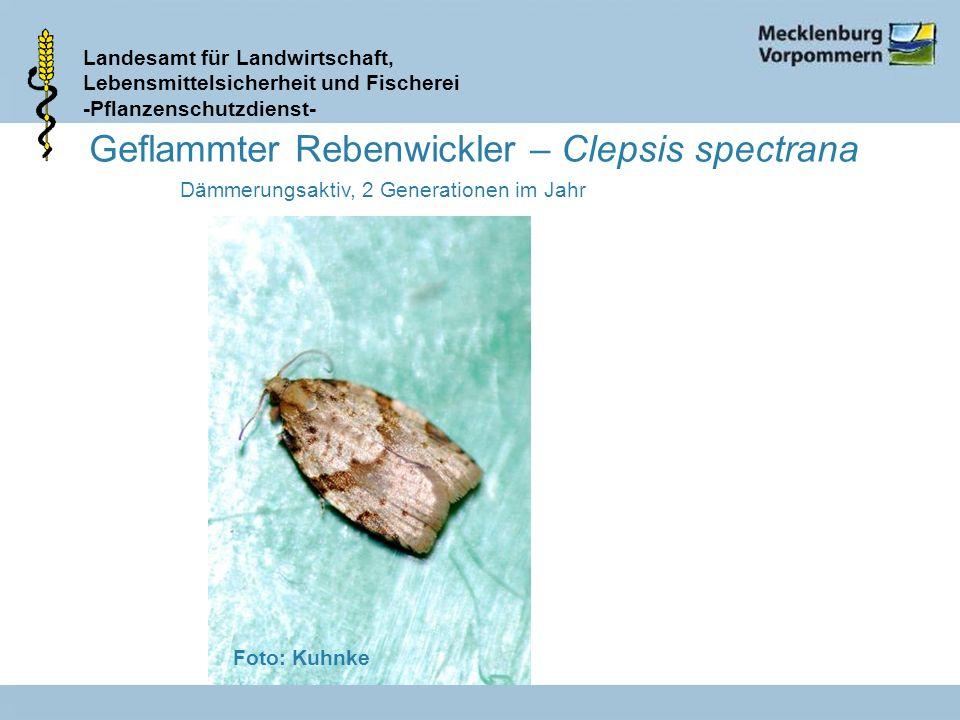Landesamt für Landwirtschaft, Lebensmittelsicherheit und Fischerei -Pflanzenschutzdienst- Geflammter Rebenwickler – Clepsis spectrana Dämmerungsaktiv,