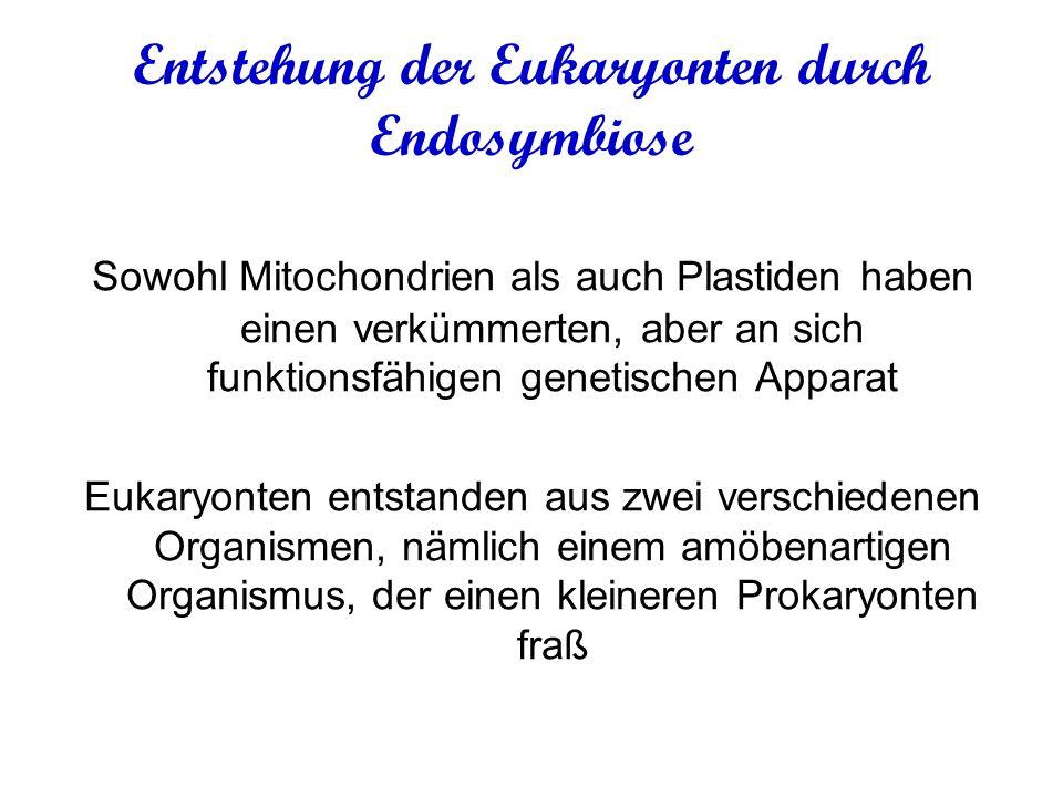 Entstehung der Eukaryonten durch Endosymbiose Sowohl Mitochondrien als auch Plastiden haben einen verkümmerten, aber an sich funktionsfähigen genetischen Apparat Eukaryonten entstanden aus zwei verschiedenen Organismen, nämlich einem amöbenartigen Organismus, der einen kleineren Prokaryonten fraß