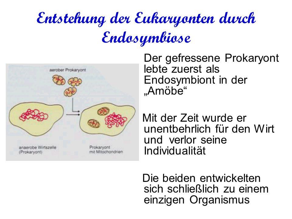 Entstehung der Eukaryonten durch Endosymbiose Der gefressene Prokaryont lebte zuerst als Endosymbiont in der Amöbe Mit der Zeit wurde er unentbehrlich für den Wirt und verlor seine Individualität Die beiden entwickelten sich schließlich zu einem einzigen Organismus