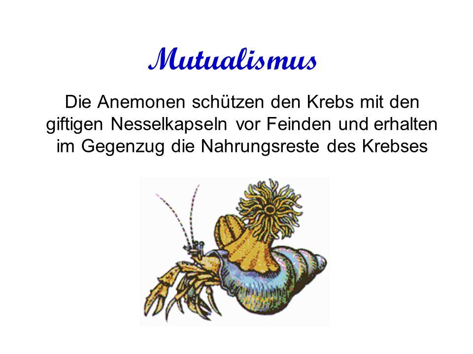 Mutualismus Die Anemonen schützen den Krebs mit den giftigen Nesselkapseln vor Feinden und erhalten im Gegenzug die Nahrungsreste des Krebses
