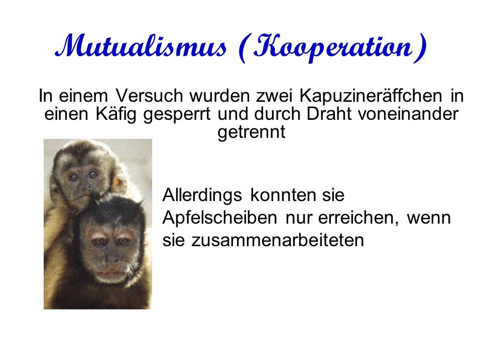 Mutualismus (Kooperation) In einem Versuch wurden zwei Kapuzineräffchen in einen Käfig gesperrt und durch Draht voneinander getrennt Allerdings konnten sie Apfelscheiben nur erreichen, wenn sie zusammenarbeiteten