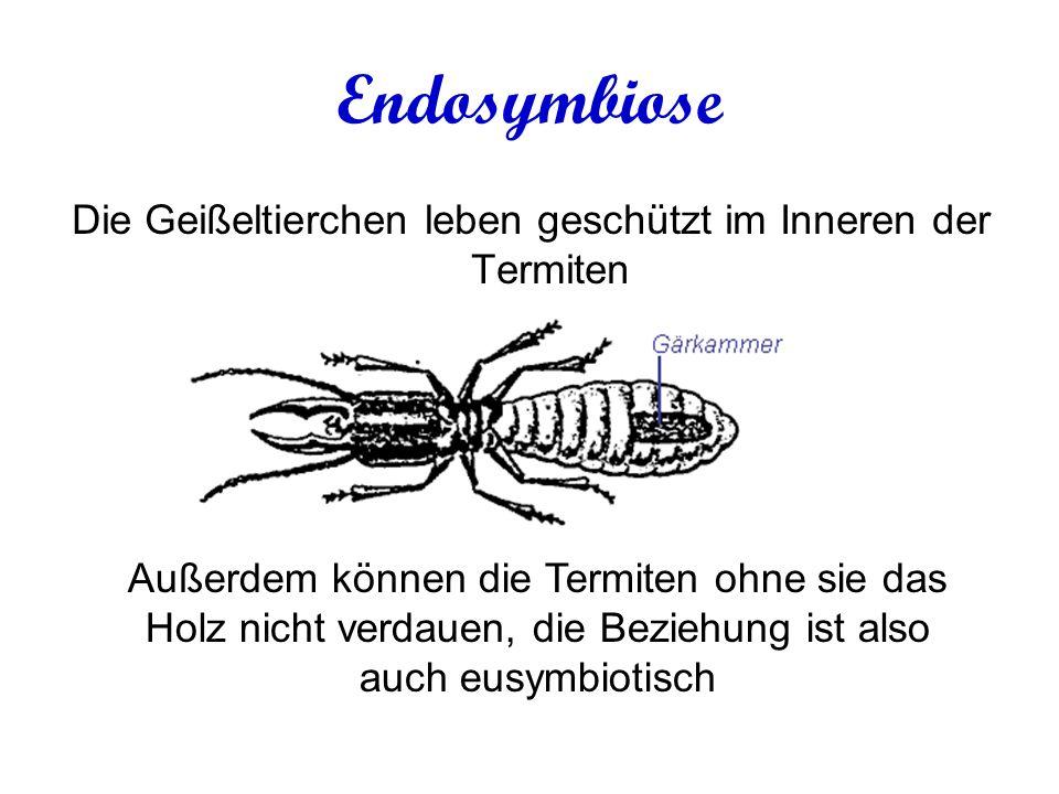 Endosymbiose Die Geißeltierchen leben geschützt im Inneren der Termiten Außerdem können die Termiten ohne sie das Holz nicht verdauen, die Beziehung ist also auch eusymbiotisch