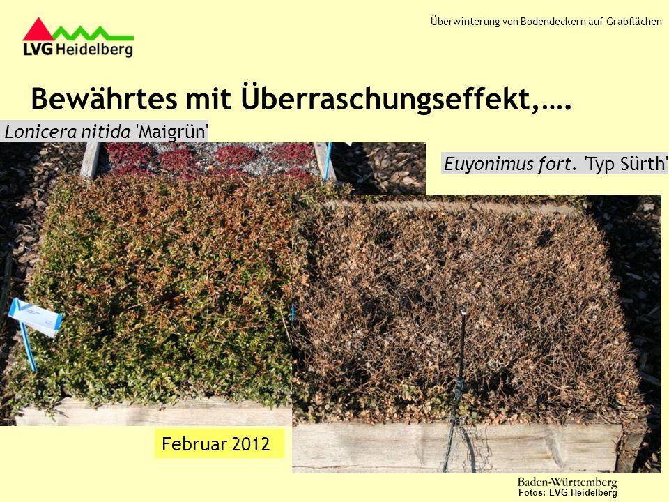 Teucrium chamaedrys Nana Februar 2012 Fotos: LVG Heidelberg Februar 2013 Überwinterung von Bodendeckern auf Grabflächen