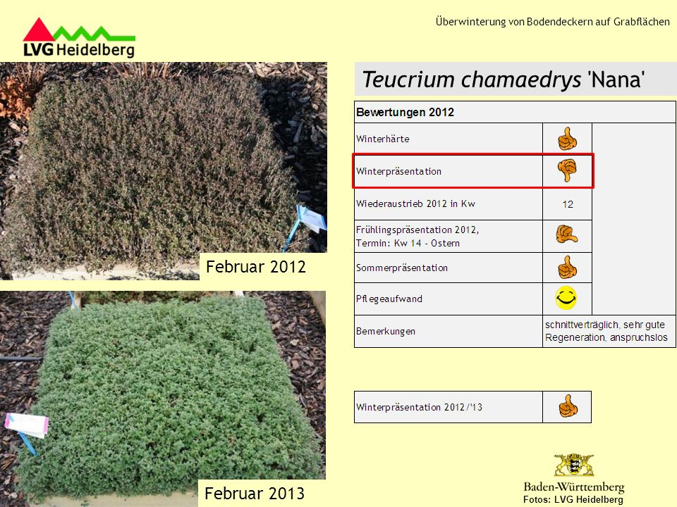 Teucrium chamaedrys 'Nana' Februar 2012 Fotos: LVG Heidelberg Februar 2013 Überwinterung von Bodendeckern auf Grabflächen