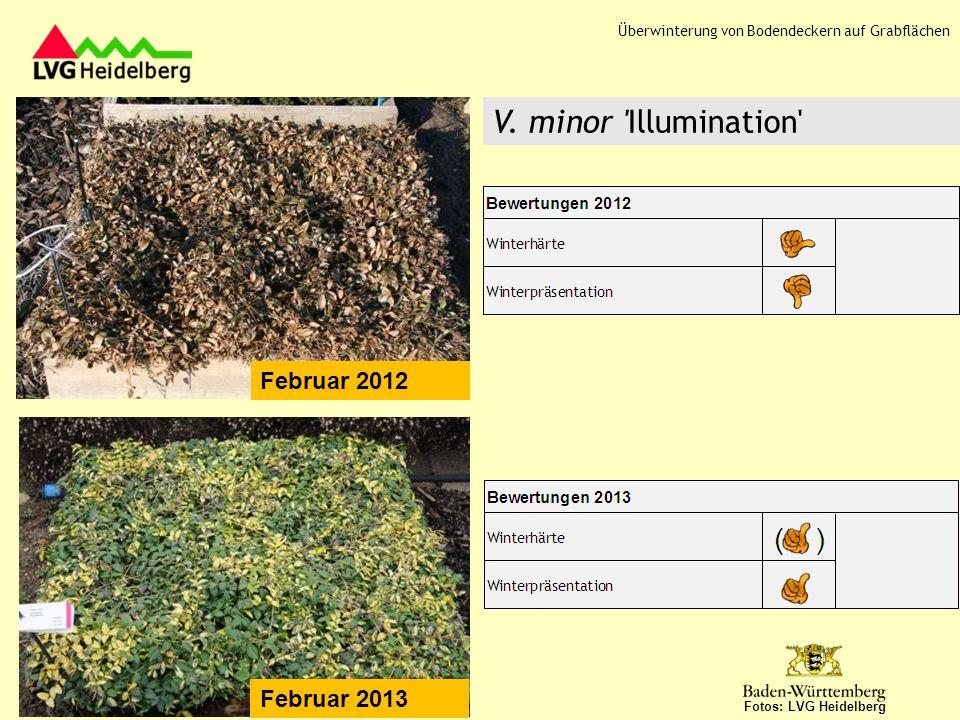 Februar 2012 Fotos: LVG Heidelberg Ilex crenata Dark Green Februar 2013 Überwinterung von Bodendeckern auf Grabflächen