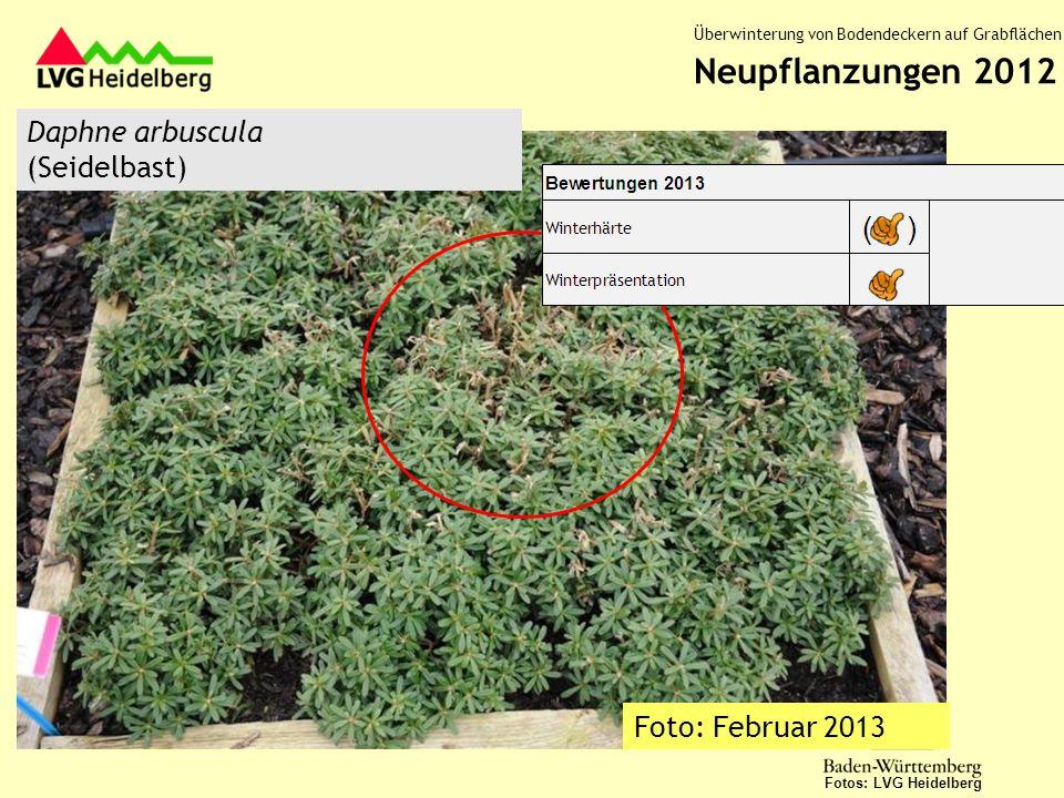 Daphne arbuscula (Seidelbast) Fotos: LVG Heidelberg Neupflanzungen 2012 Überwinterung von Bodendeckern auf Grabflächen Foto: Februar 2013
