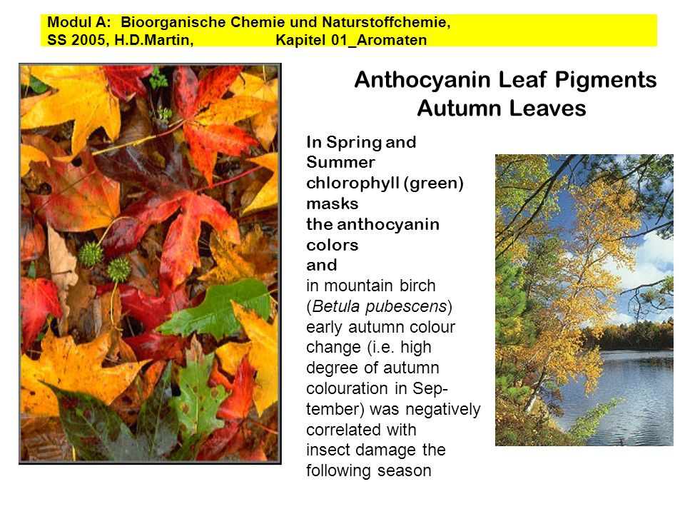 Anthocyanin Leaf Pigments Autumn Leaves In Spring and Summer chlorophyll (green) masks the anthocyanin colors and in mountain birch (Betula pubescens)