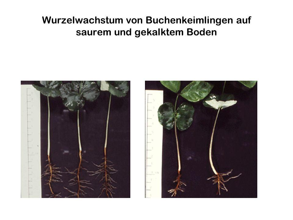 Wurzelwachstum von Buchenkeimlingen auf saurem und gekalktem Boden