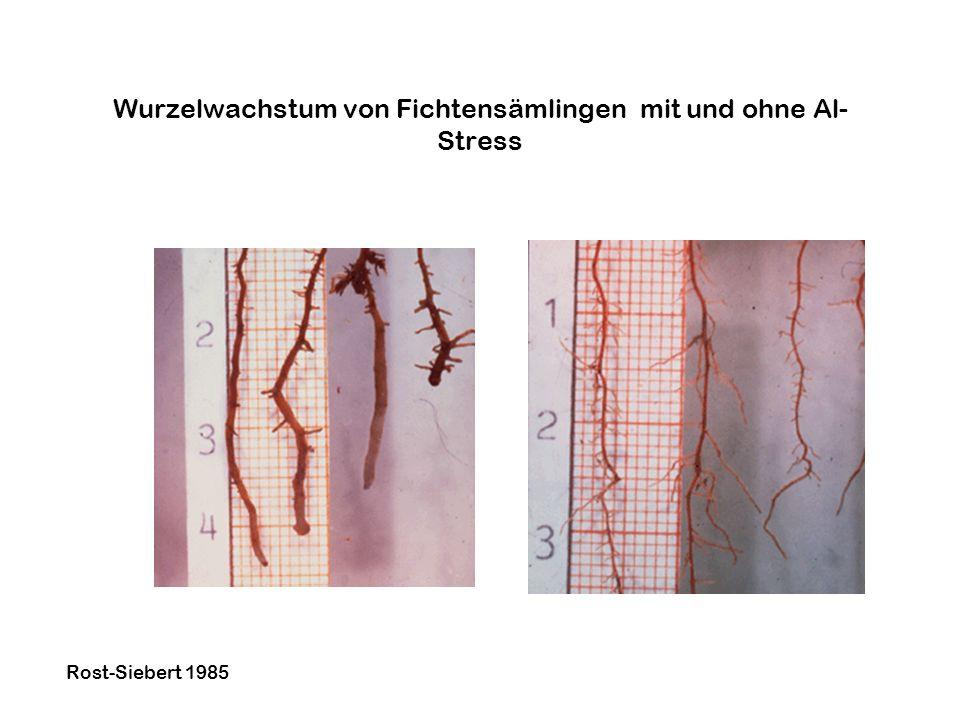 Wurzelwachstum von Fichtensämlingen mit und ohne Al- Stress Rost-Siebert 1985