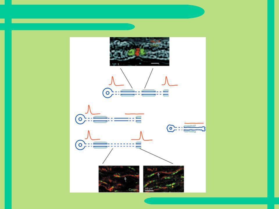 Ergebnisse bei EAE in ZNS- Axonen Na1.1 Kanäle nicht gefunden Na1.3 Kanäle nicht gefunden Na1.8 Kanäle nicht gefunden Na1.6 Kanäle vorhanden Viele Na1.2 Kanäle vorhanden