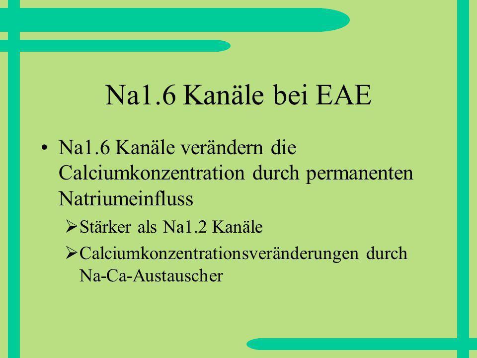 Na1.6 Kanäle bei EAE Na1.6 Kanäle verändern die Calciumkonzentration durch permanenten Natriumeinfluss Stärker als Na1.2 Kanäle Calciumkonzentrationsveränderungen durch Na-Ca-Austauscher