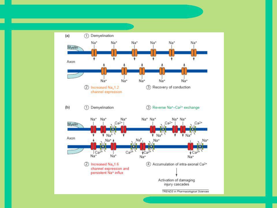 Na1.2 Kanäle Langsame Depolarisation Produzieren geringeren Ionenfluss Können daher ohne Na-Ca-Austauscher funktionieren Keine schädigende Wirkung, aber keine volle Funktionsfähigkeit